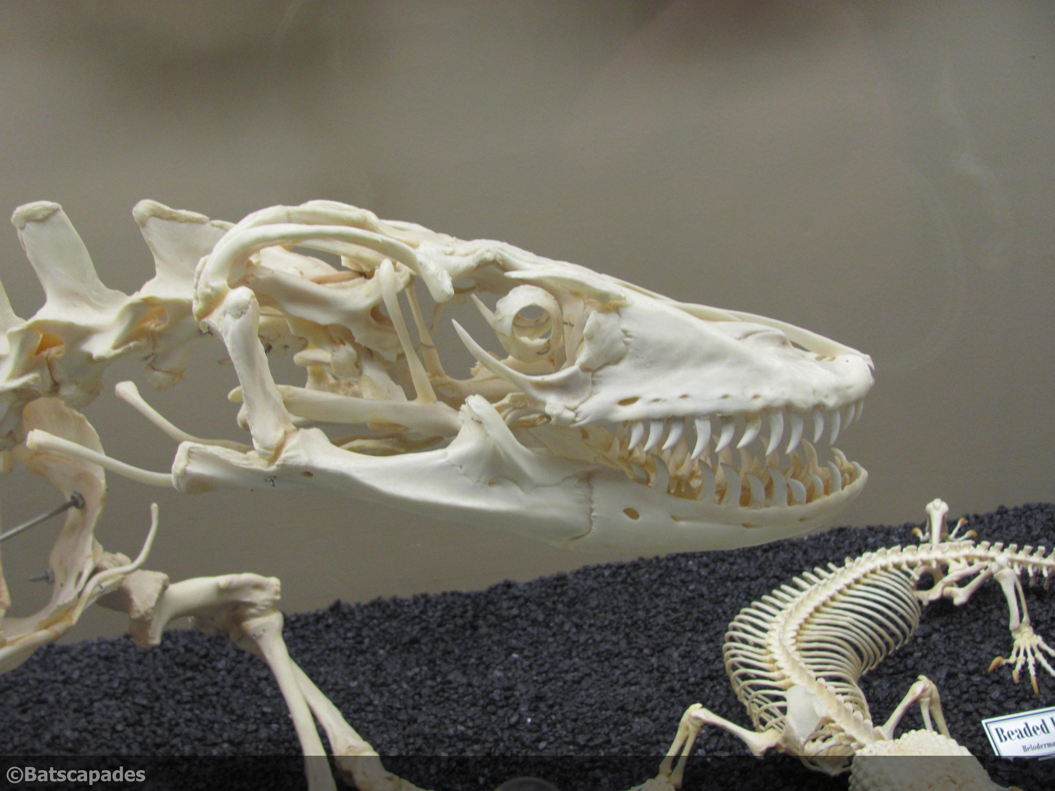 Komodo dragon skeleton - crazywidow.info