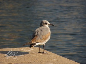 laughing gull (coc) cpy