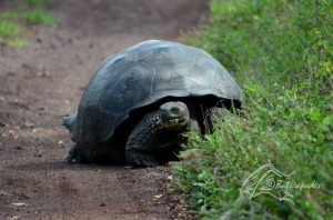 Actually a smaller tortoise we saw on the road later...
