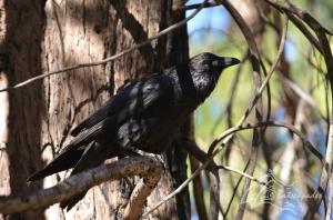 2a corvus corax