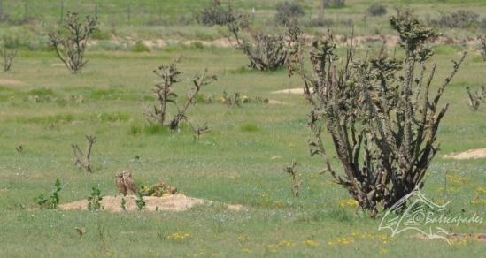 532 Athene cunicularia