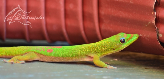 gold-dust-day-gecko